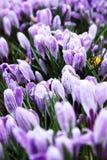 Flores del resorte, azafrán Imágenes de archivo libres de regalías