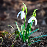 Flores del resorte de Snowdrops Fotos de archivo libres de regalías