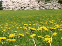 Flores del resorte del diente de león field Imágenes de archivo libres de regalías