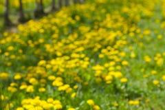 Flores del resorte del diente de león field Foto de archivo