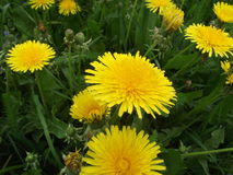 Flores del resorte del diente de león field Imagenes de archivo