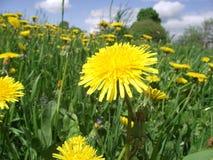 Flores del resorte del diente de león field Fotografía de archivo
