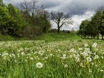 Flores del resorte del diente de león field imagen de archivo libre de regalías