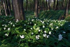 Flores del resorte en el bosque imagenes de archivo