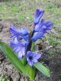 Flores del resorte en el jardín Fotos de archivo