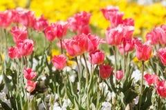 Flores del resorte en jardín Fotografía de archivo libre de regalías