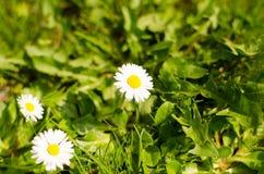 Flores del resorte en la hierba fotos de archivo