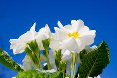 Flores del resorte que suben imagen de archivo libre de regalías