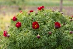 Flores del resorte rojo Imagenes de archivo