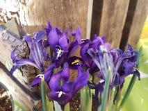 Flores del reticulata del iris en la floración fotos de archivo