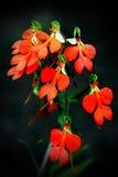 Flores del rhodocheila del Habenaria que adornarán el bosque magnífico Imagen de archivo libre de regalías