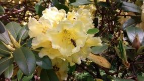 Flores del rododendro con una abeja Foto de archivo