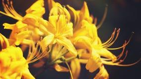 Flores del rododendro de la belleza Foto de archivo libre de regalías