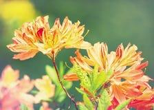Flores del rododendro de la belleza Fotos de archivo libres de regalías