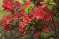 Flores del rododendro en jardín Foto de archivo libre de regalías