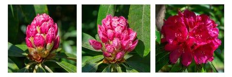 Flores del rododendro en verano Fotos de archivo