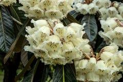 Flores del rododendro que florecen en un árbol grande Imagen de archivo