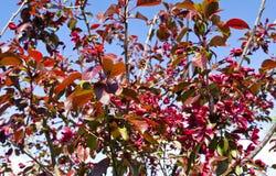 Flores del rojo cereza en el jardín Fotografía de archivo libre de regalías