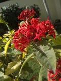 Flores del rojo de Castrum imagenes de archivo