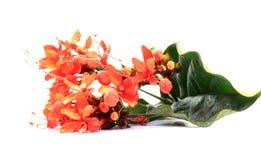 Flores del rojo de Ixora Foto de archivo libre de regalías