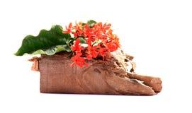 Flores del rojo de Ixora Imágenes de archivo libres de regalías