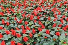 Flores del rojo de las publicaciones anuales fotos de archivo libres de regalías