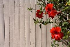 Flores del rojo del hibisco Imagenes de archivo
