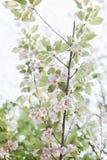 Flores del rosa de la floración de los árboles florecientes de la primavera Fotografía de archivo