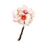 Flores del rosa del árbol de almendra Imagen de archivo libre de regalías