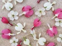 Flores del rosa y blancas del corazón sangrante con las flores de cerezo dispersadas en fondo romántico imagen de archivo