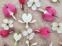 Flores del rosa y blancas del coraz?n sangrante con las flores de cerezo dispersadas en fondo rom?ntico imagenes de archivo