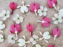 Flores del rosa y blancas del coraz?n sangrante con las flores de cerezo dispersadas en fondo rom?ntico imágenes de archivo libres de regalías