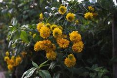 Flores del Rudbeckia Foto de archivo libre de regalías
