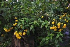 Flores del Rudbeckia Fotografía de archivo