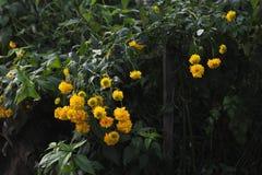 Flores del Rudbeckia Fotos de archivo