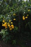 Flores del Rudbeckia Fotos de archivo libres de regalías