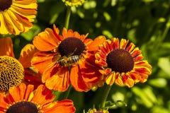 Flores del Rudbeckia con el primer de la abeja de la miel Imagen de archivo libre de regalías