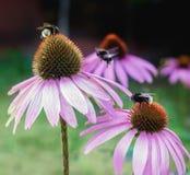 Flores del ` s de la flor del Echinacea con las abejas Fotos de archivo libres de regalías