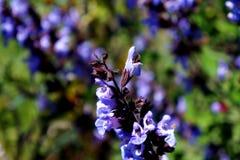 Flores del sabio Imagen de archivo libre de regalías
