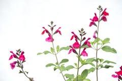 Flores del sabio común imagenes de archivo