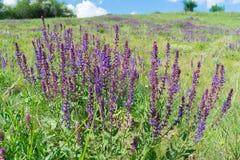Flores del sabio salvaje Fotos de archivo libres de regalías