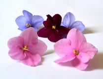 Flores del Saintpaulia Foto de archivo libre de regalías
