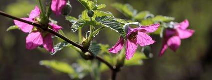 Flores del Salmonberry hechas excursionismo Imágenes de archivo libres de regalías