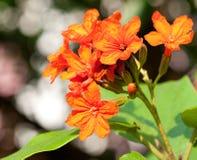 Flores del sebestena del Cordia Imagen de archivo libre de regalías