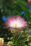 Flores del silktree Fotos de archivo libres de regalías