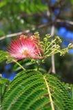 Flores del silktree Fotos de archivo