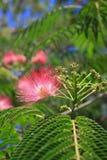 Flores del silktree Foto de archivo libre de regalías
