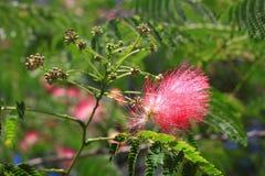 Flores del silktree Fotografía de archivo