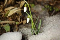 Flores del snowdrop del resorte Foto de archivo libre de regalías