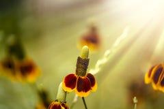 Flores del sombrero mexicano Imagen de archivo